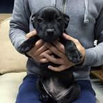 スタッフォードシャーブルテリア子犬